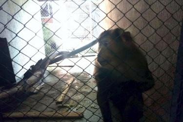 Thêm một cá thể linh trưởng được giải cứu để thả về môi trường tự nhiên